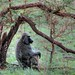 Tree baboon
