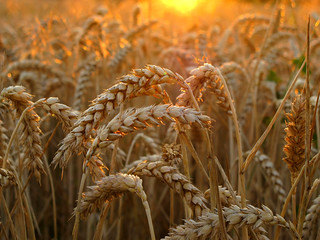 Wheat in golden Evening Light - - - Thanks for 100.000 views on this image !!! | by Batikart