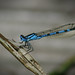 'Blue Dragonfly at St.Maurice's Pond' (Cumbernauld,Scotland)