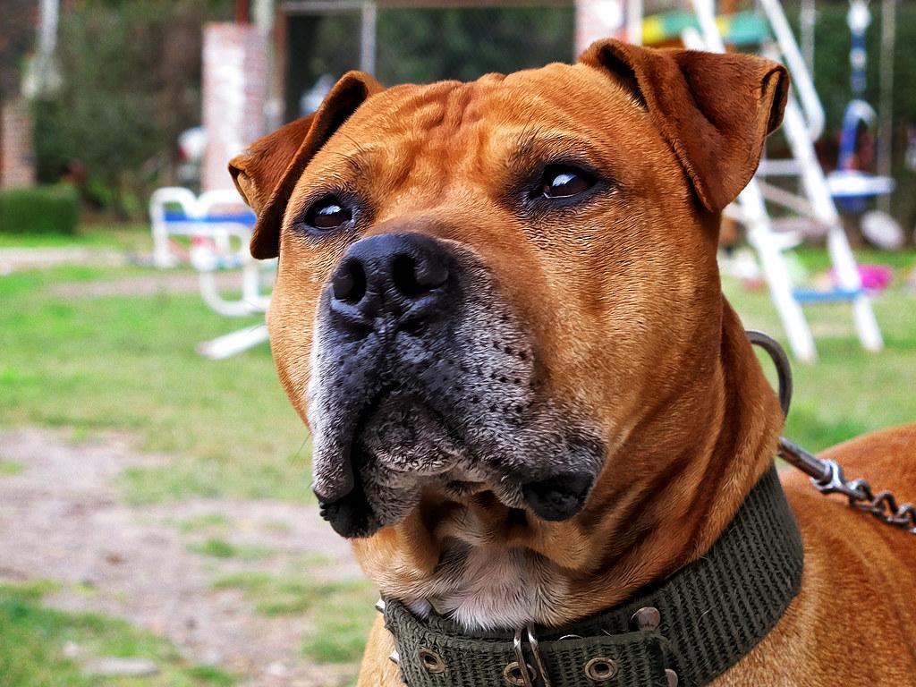 Japanese Terrier Dog Sale