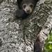 Black Bear Cub in Tree