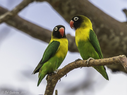 Yellow-collared Lovebirds   Tarangire National Park ...