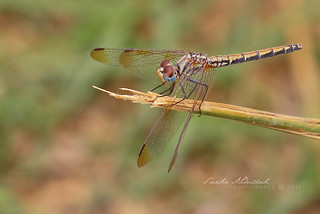 Orange Winged Dropwing - Female : أنثى اليعسوب | by Sakhr Abdullah
