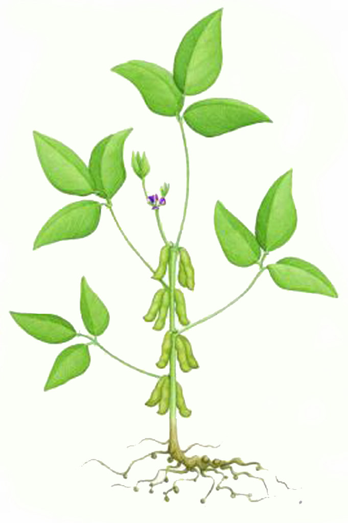 diagram of the soybean wiring diagram \u2022  diagram of soybean plant diagram of soybean plant for crop flickr rh flickr com diagram of