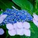 紫陽花 / Hydrangea II