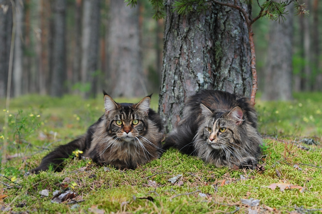 Maine Coon Cat  Natalia LynxPlace Flickr
