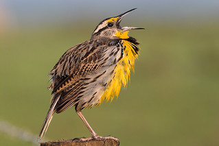 Eastern Meadowlark calling | by Photomatt28
