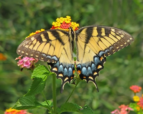 Eastern tiger swallowtail | by Vicki's Nature