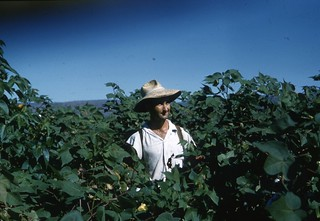 1963-ca - Kevin Richards in castor oil crop - KHS-2011-31-036-7.08-P2-D | by Kununurra Historical Society