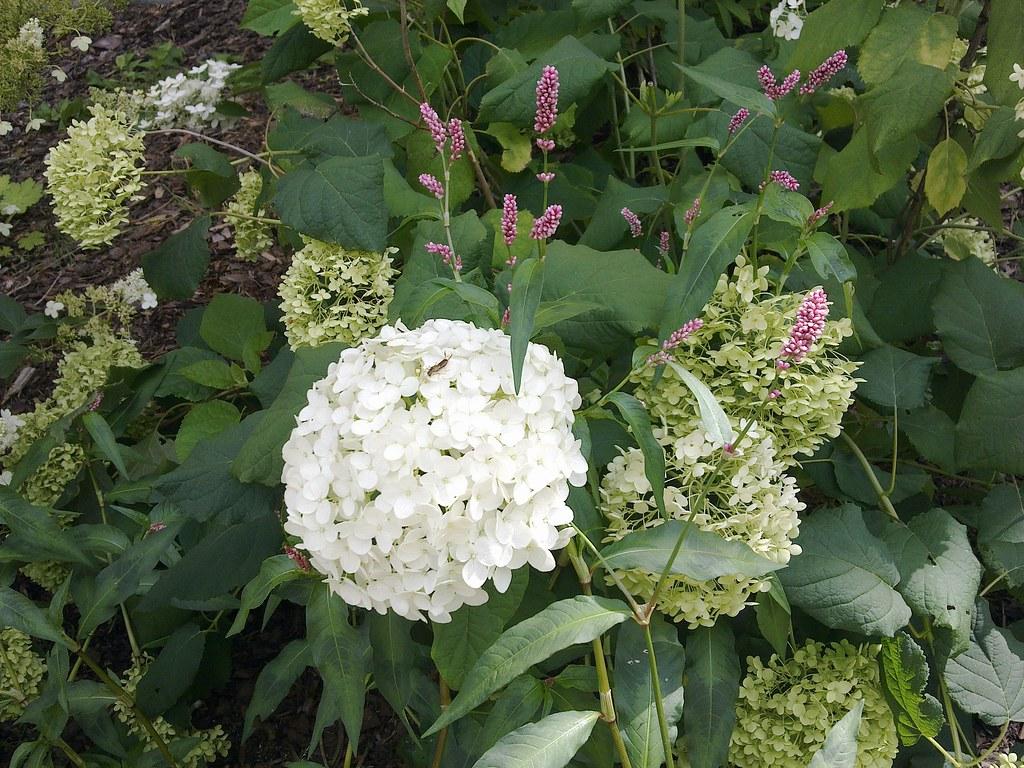 Hortensie Annabell pflanzen hortensie baum schneeball wald hortensie flickr