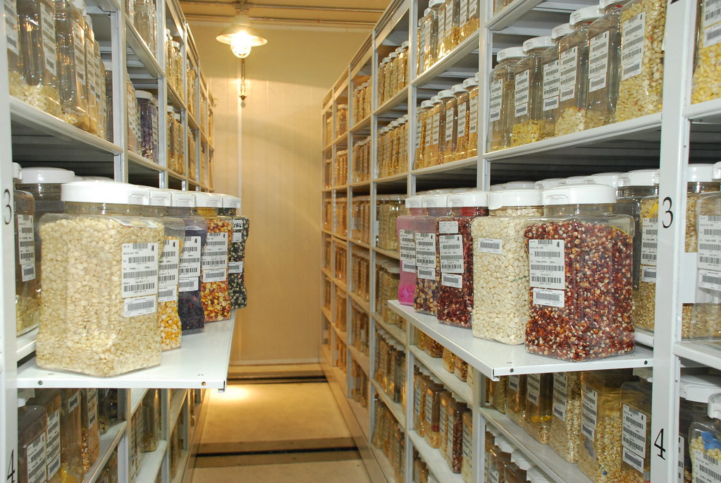 Maize Seed Samples Cimmyt Germplasm Bank Some Of The