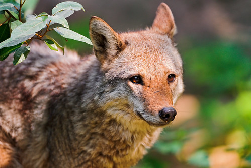 Cute young coyote | by Tambako the Jaguar