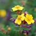Shrubby Cinquefoil (lat. Pentaphylloides fruticosa)