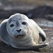 Photo of the Week - Harbor seal at Nantucket National Wildlife Refuge, MA