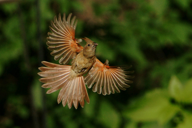 Female cardinal in flight - photo#3
