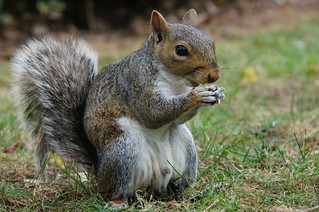 Grey Squirrel | by tim ellis