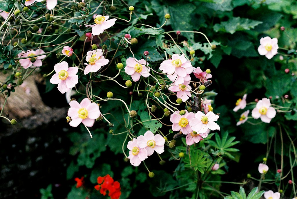 Canon AE-1 (Silver Camera) - Garden Flowers | My first test … | Flickr