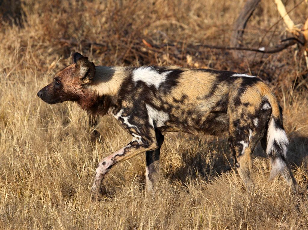 Most Endangered Dog Breed