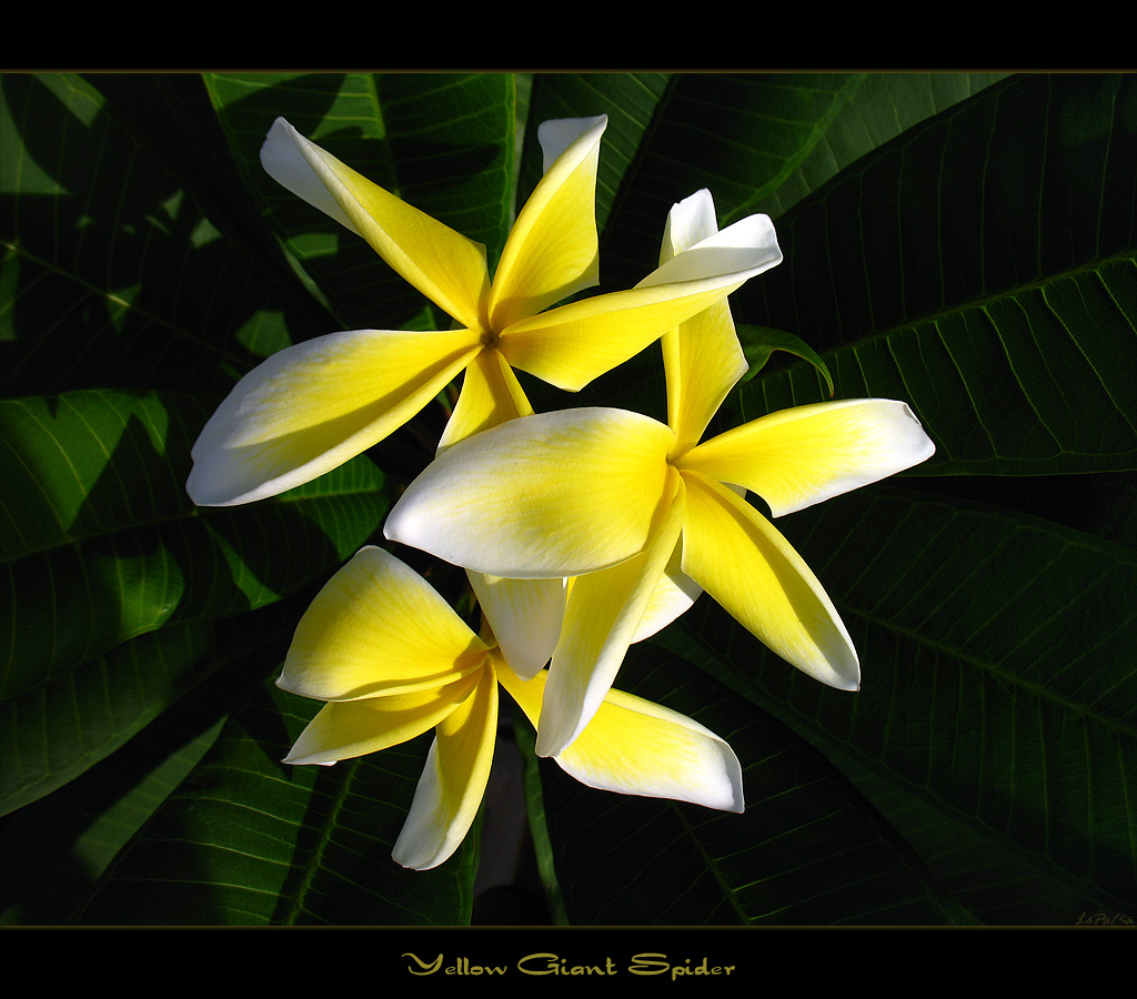 Rare Flowers The Plumeria Yellow Giant Spider Here Is Th Flickr
