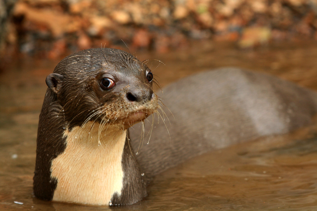 Castleman Portfolio Giant River Otter Locals Once Smoked Flickr