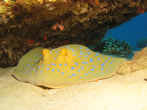 Blue spotted stingray | by prilfish
