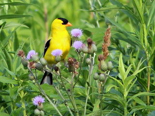 American Goldfinch (Carduelis tristis) and thistles 2-20110707 | by Kenneth Cole Schneider