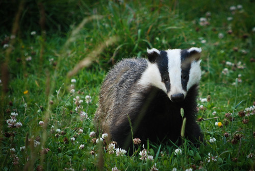 Badger | by Mr Ush