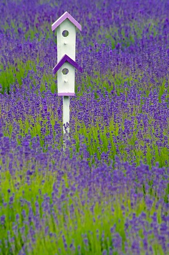 In The Lavender Fields. | by musicman67