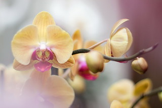 Yellow and pink phalaenopsis 2 | by Сutierina