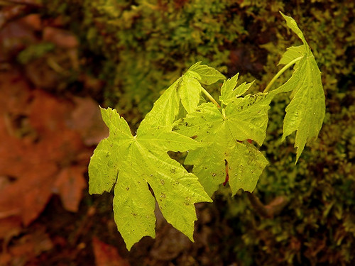 Baby Big Leaf Maples | by Kahlee Spiritdancing