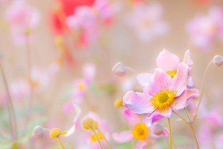 A pinker shade of pale | by Steve-h