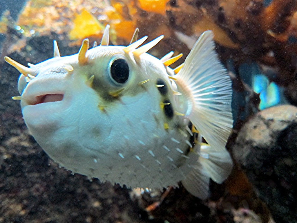 Porcupine Fish (Balloon fish, Globe fish)