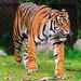Walking Sumatran tiger