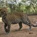 Camera trap photo of a leopard cub