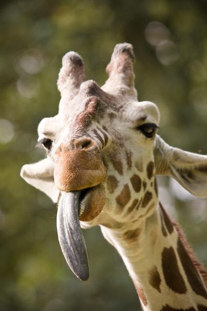 Giraffe tongue - photo#10