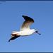 Seagull in Flight with Bone