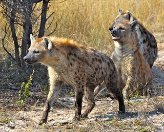 Hyenas on the Hunt | by jurvetson