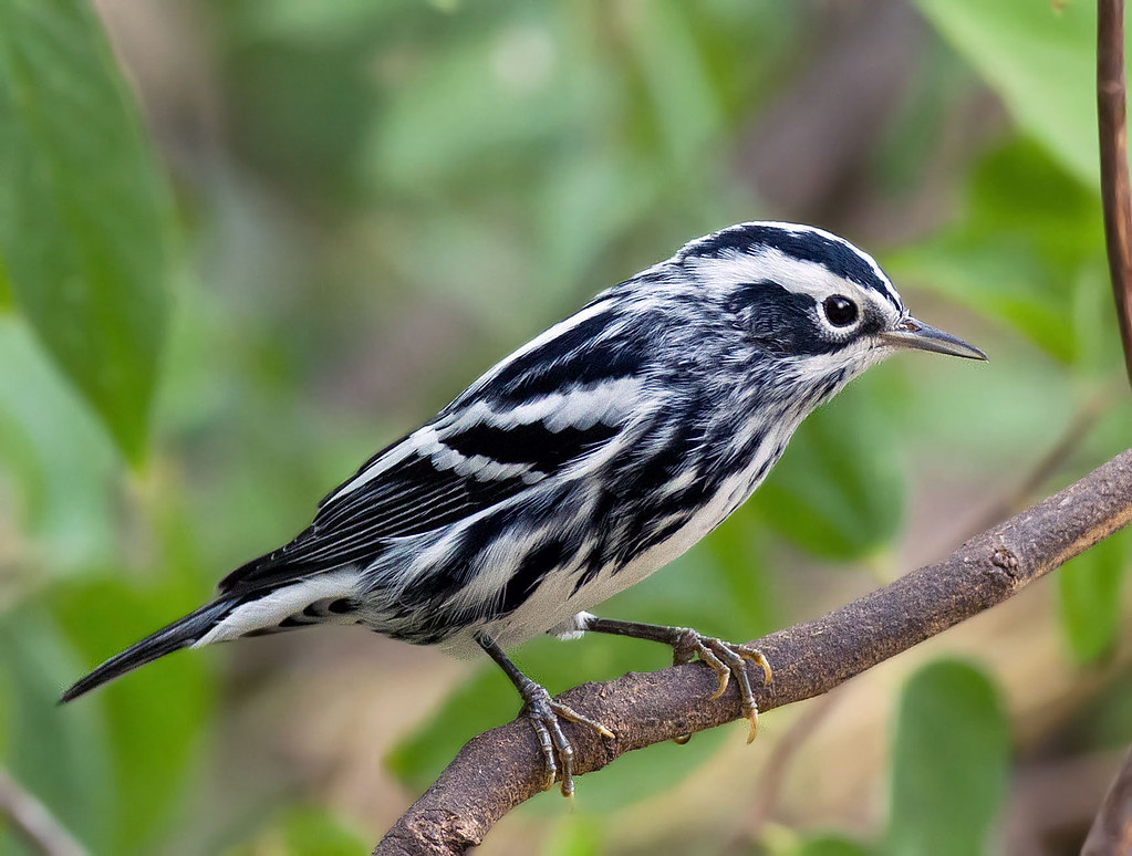 Black and white warbler mniotilta varia south llano st flickr - Black and wait ...