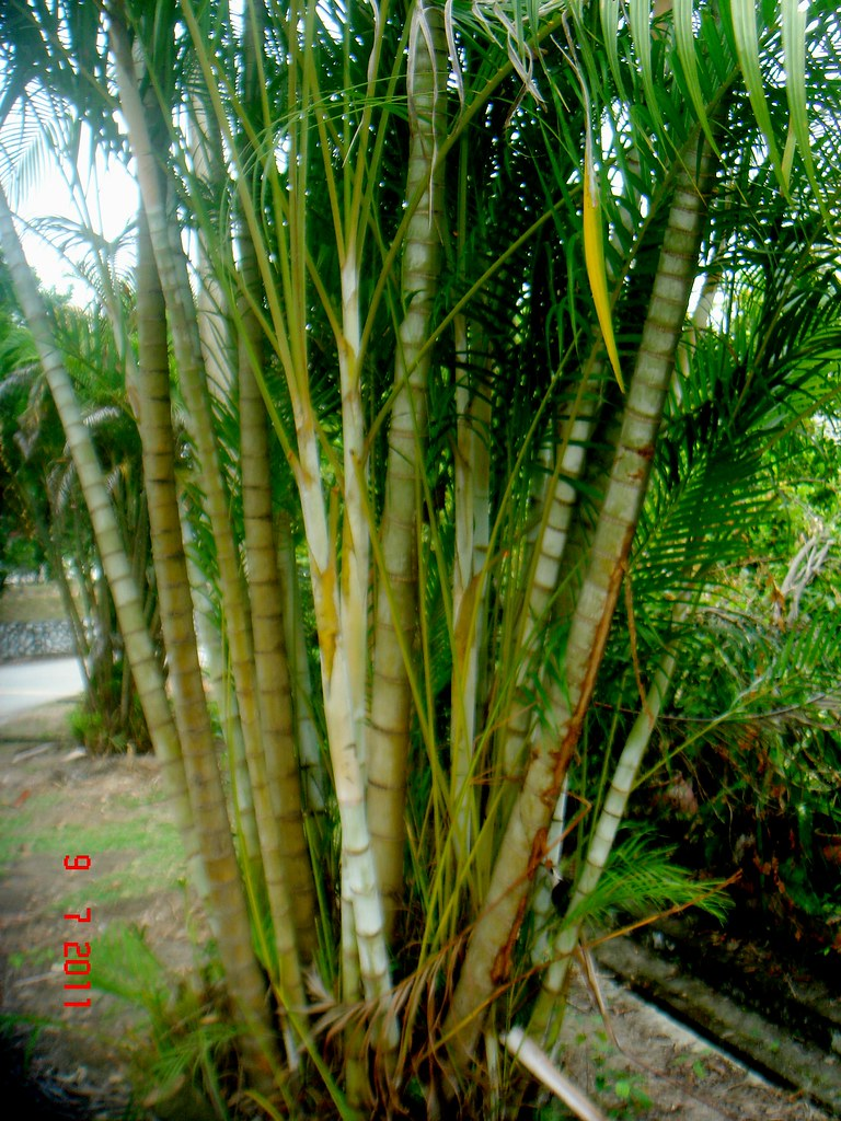 Dypsis lutescens h wendl beentje j dransf subang for Pictures of areca palm plants