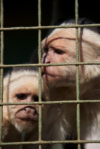 White Capuchin (1) | by Ryan Kilpatrick