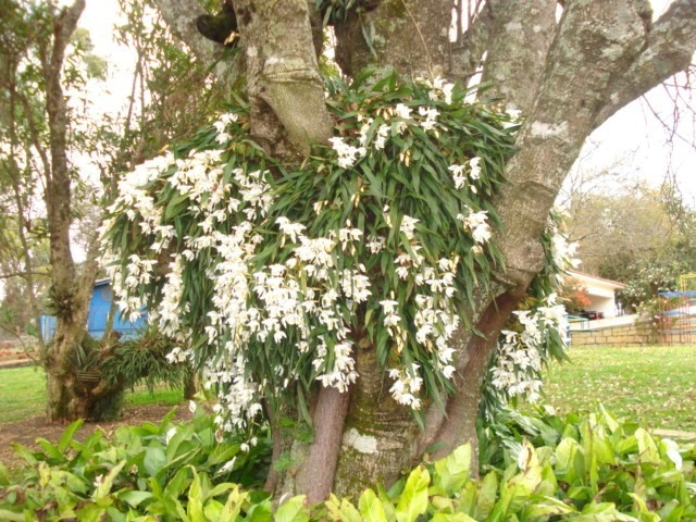 Orquidea Coelogyne Cristata Coelogyne Cristata | by