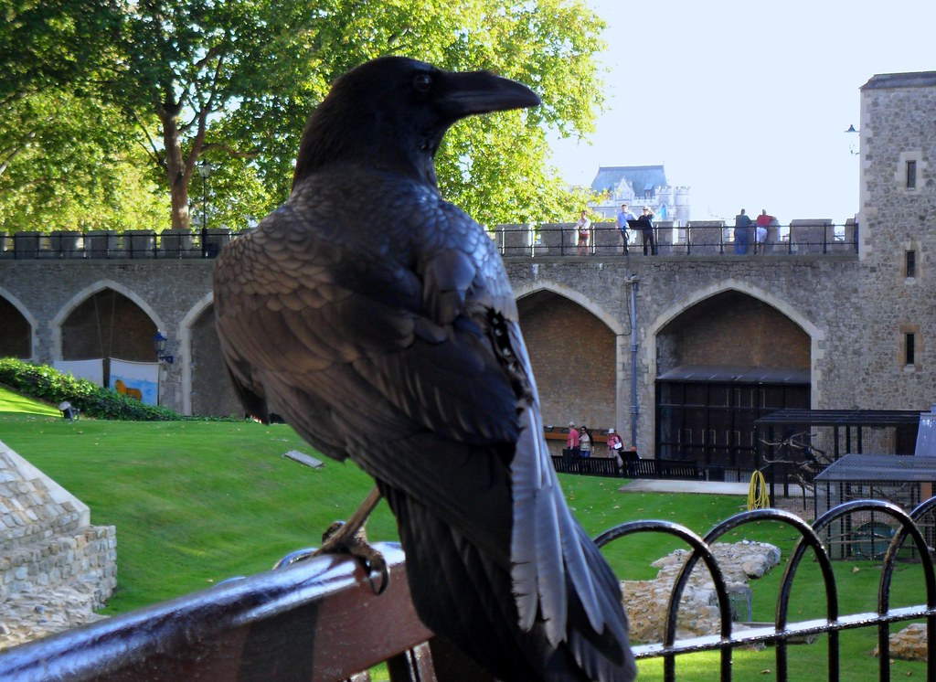 Tower of London Raven ...