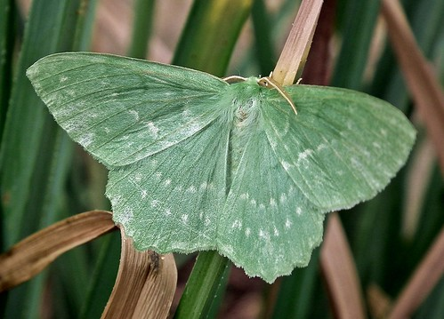 Emerald Moth | by Janna...