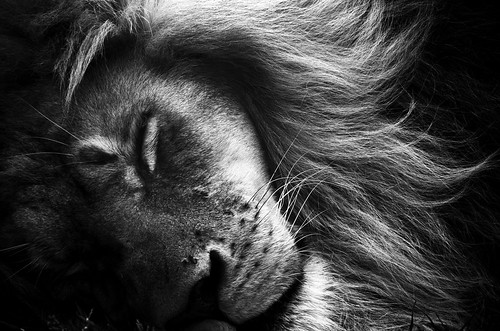 The Lion Sleeps Tonight | by AshliFioriniPhotography