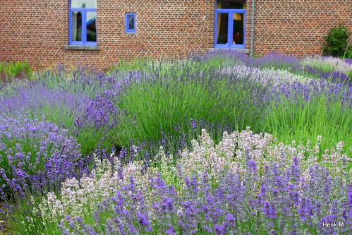 Kwekerij Bastin   Lavendel specialist   Henk   Flickr