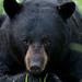 Pensive Black Bear Male