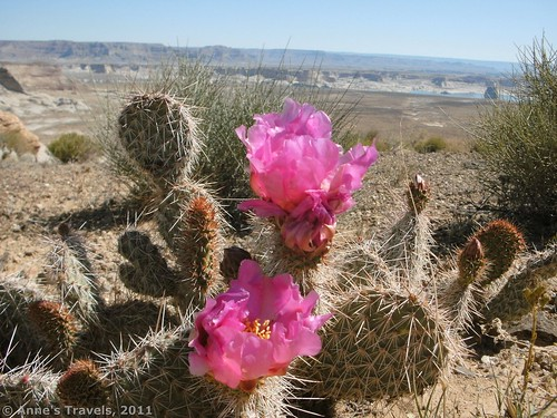 Flowering cacti near Lake Powell, Arizona
