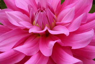Pink Dahlia | by Ray Bouknight