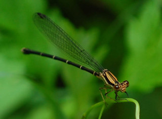 Argia tibialis, Blue-tipped Dancer brown-form female | by sheryl2010