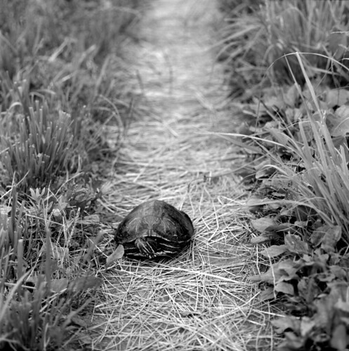 A tortoise which blocks my walk way. | by stonemute
